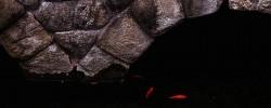 石橋の金魚