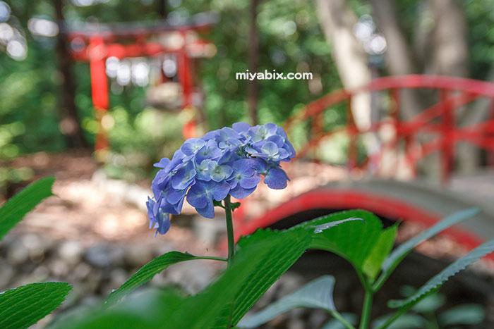 川越大師,喜多院,紫陽花