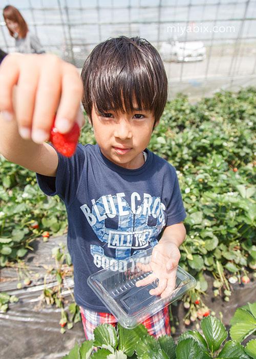 GW,ゴールデンウィーク,元気あっぷ村,高根沢,栃木,鯉のぼり,芝桜,イチゴ狩り,ジェラート,子供の成長