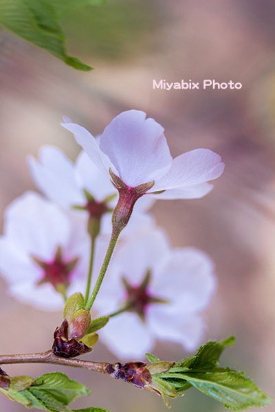 桜,王仁塚,秩父