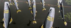 なかがわ水遊園:鯉のぼりならぬ『鮎のぼり』